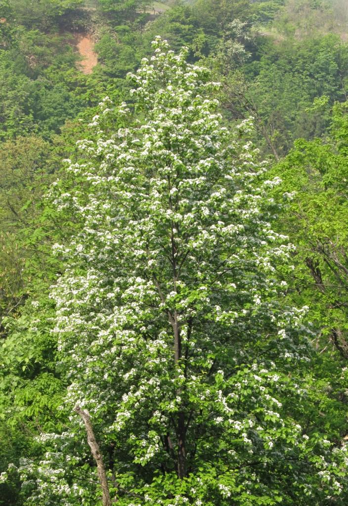 アズキナシの大木