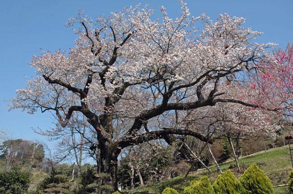 定年時代在りし日の樹齢400年の桜