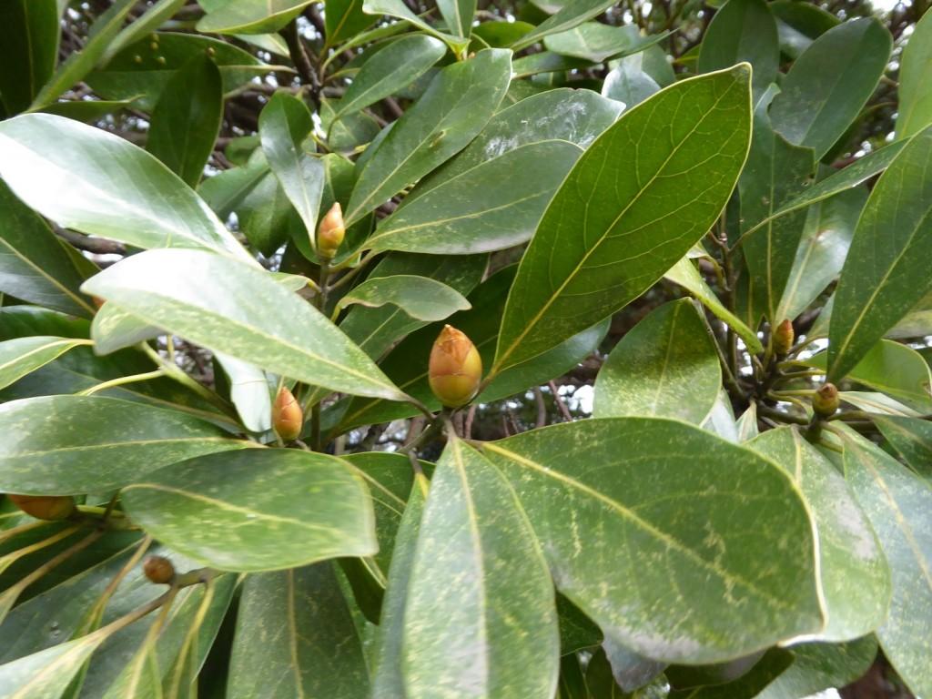 タブノキの冬芽
