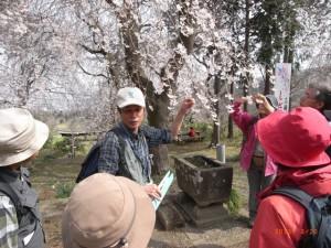 嶋神社のしだれ桜はまさに見頃