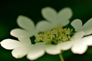 ヤブデマリが今を盛りに咲いていました