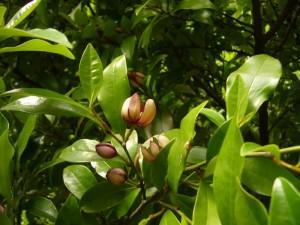 カラタネオガタマの花はバナナのような香りで虫を誘っています
