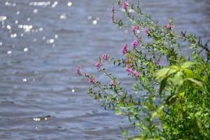 水辺にはミソハギが咲いていました