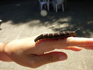 セスジスズメガの幼虫