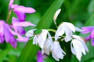 シランの花にアカスジキンカメムシがいた