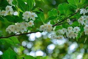 エゴノキが、楚々と咲いていました