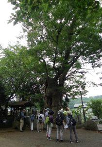 蓑笠神社 の大ケヤキ