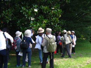 根岸森林公園 タイサンボクの花の香りを楽しむ